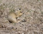 Title: EUROPEAN GROUND SQUIRREL