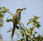 Title: BEE EATER