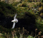 Title: Fulmar in flight