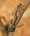 Title: Robberfly and robberfly