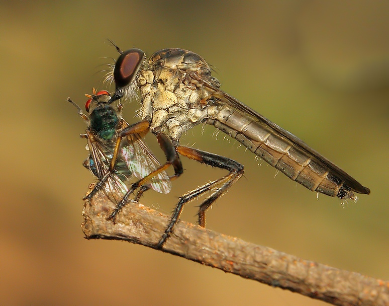 Robberfly and fly