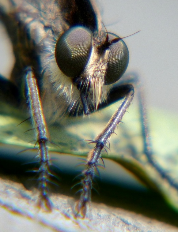 Robberfly - close up