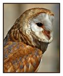 Title: The barn owl