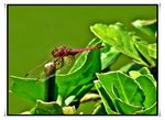 Title: The red dragonfly