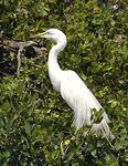 Title: Great egret II