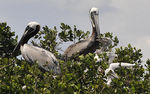 Title: Brown pelican family