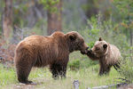 Title: Grizzly family