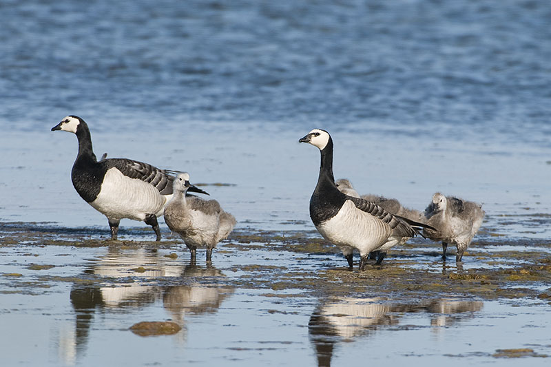 Barnacle goose family