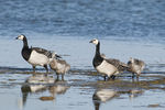 Title: Barnacle goose family
