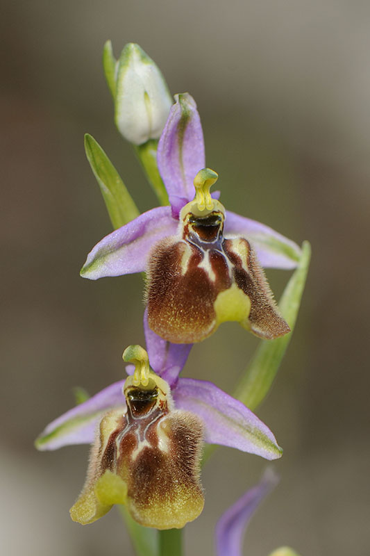 Ophrys calliantha