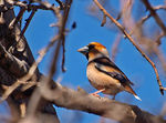 Title: Kocabas   -Hawfinch-