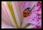 Title: Coccinellidae (Ladybugs)Pentax K10D