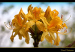 Title: Rhododendron luteum