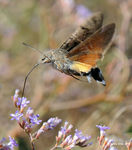 Title: Hummingbird Hawk-moth