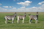 Title: three zebrasNikon D50
