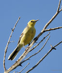 Title: Yellow Wagtail