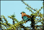 Title: Indian Roller