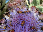 Title: bugs on artichoke flower