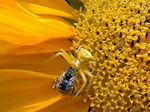 Title: spider on sunflower