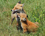 Title: Red Fox and her Kit