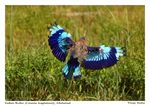 Title: Indian Roller-II
