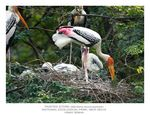 Title: Painted Stork - Nesting