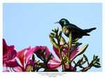 Title: Purple Sunbird - Male