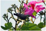 Title: Purple Sunbird - Female