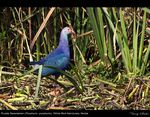 Title: Purple Swamphen