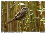 Title: Song Sparrow - 1