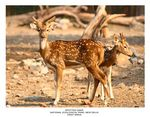 Title: Spotted Deer - 1