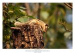 Title: Indian Palm Squirrel