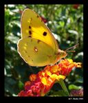 Title: Pale Clouded Yellow