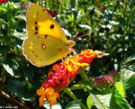 Title: Colias hyale and Lantana flowers