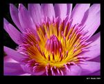 Title: Pink waterlily with
