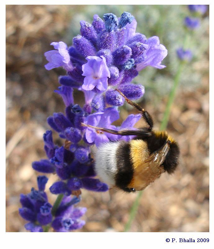 Bumblebee and Lavender flowers