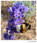 Title: Bumblebee and Lavender flowers