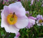 Title: Japanese Anemone and Hoverfly