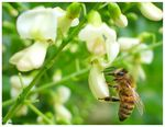 Title: Honey Bee and White flowers