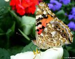 Title: Vanessa cardui and White flowerSony Cybershot DSC P150