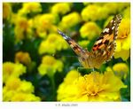Title: Painted Lady and Marigold flowers