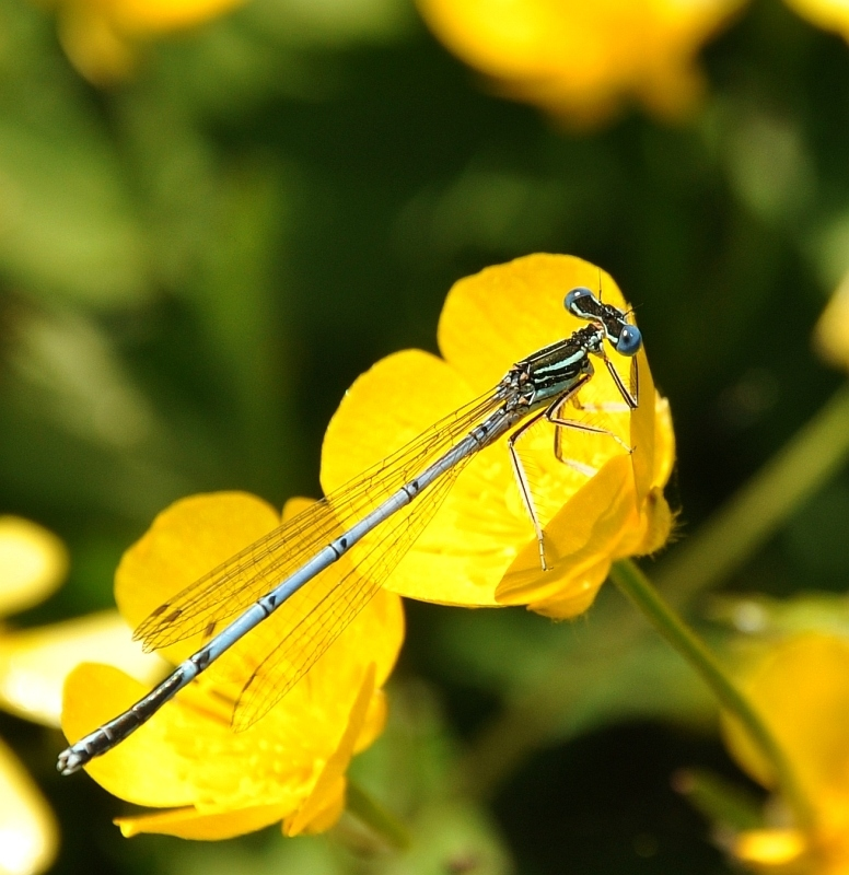 Common Blue on buttercup
