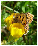 Title: Lycaena tityrus and Ranunculus flowers