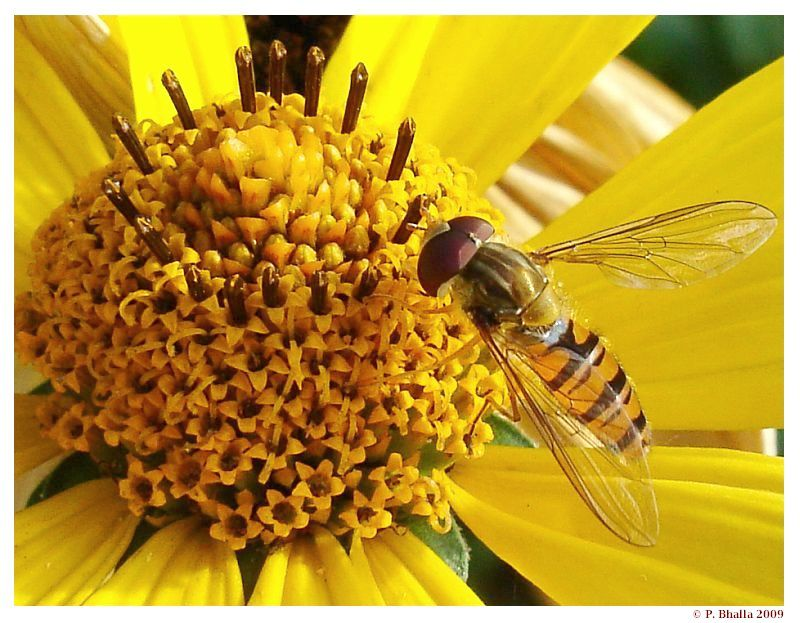 Hoverfly and Yellow flower