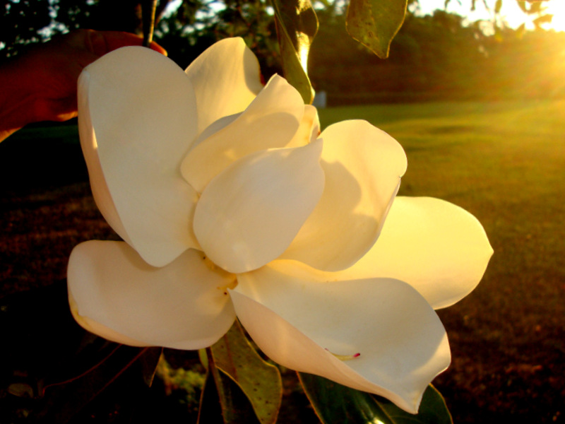 Magnolia under  the sunsets
