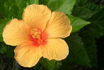 Title: Hibiscus to L�szl�FinePixHS10