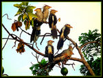 Title: Guira Cuckoo family