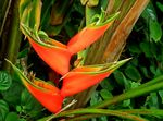 Title: Heliconia stricta