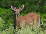 Title: White Tailed Deer