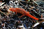 Title: Red Spotted Newt Juvenile
